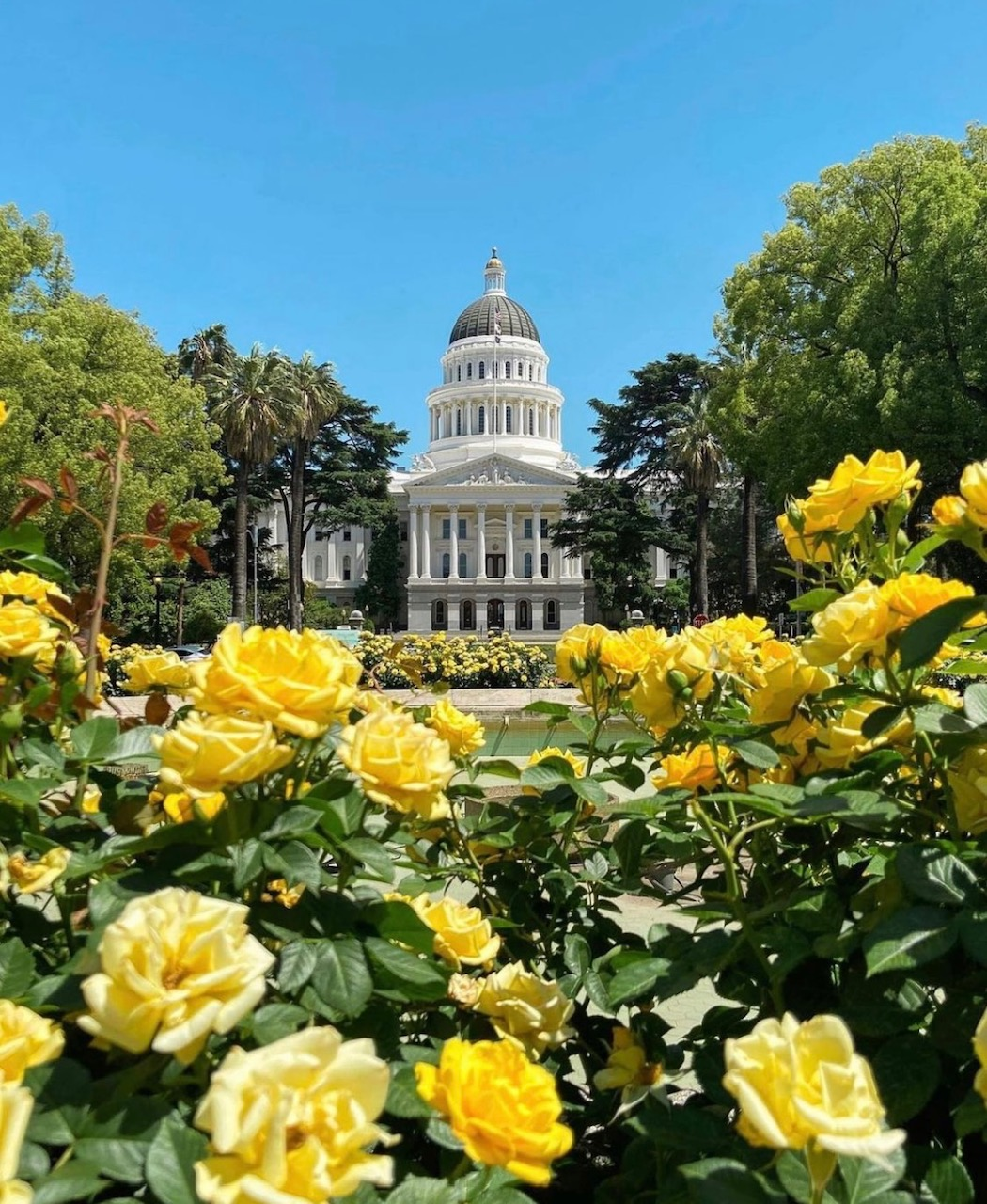 Building in background with yellow roses in foreground, flanked by trees, under a blue summersky.